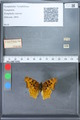 http://mczbase.mcz.harvard.edu/specimen_images/ent-lepidoptera/images/2010_02_23/IMG_033070.JPG