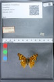 http://mczbase.mcz.harvard.edu/specimen_images/ent-lepidoptera/images/2010_02_23/IMG_033071.JPG