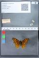 http://mczbase.mcz.harvard.edu/specimen_images/ent-lepidoptera/images/2010_02_23/IMG_033072.JPG