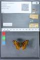 http://mczbase.mcz.harvard.edu/specimen_images/ent-lepidoptera/images/2010_02_23/IMG_033180.JPG