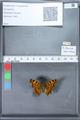 http://mczbase.mcz.harvard.edu/specimen_images/ent-lepidoptera/images/2010_02_23/IMG_033209.JPG