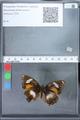 http://mczbase.mcz.harvard.edu/specimen_images/ent-lepidoptera/images/2010_02_26/IMG_033459.JPG