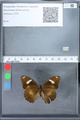 http://mczbase.mcz.harvard.edu/specimen_images/ent-lepidoptera/images/2010_02_26/IMG_033460.JPG