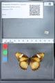 http://mczbase.mcz.harvard.edu/specimen_images/ent-lepidoptera/images/2010_02_26/IMG_033462.JPG