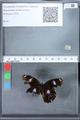 http://mczbase.mcz.harvard.edu/specimen_images/ent-lepidoptera/images/2010_02_26/IMG_033463.JPG