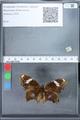 http://mczbase.mcz.harvard.edu/specimen_images/ent-lepidoptera/images/2010_02_26/IMG_033465.JPG