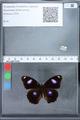 http://mczbase.mcz.harvard.edu/specimen_images/ent-lepidoptera/images/2010_02_26/IMG_033466.JPG
