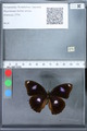 http://mczbase.mcz.harvard.edu/specimen_images/ent-lepidoptera/images/2010_02_26/IMG_033468.JPG