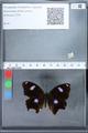 http://mczbase.mcz.harvard.edu/specimen_images/ent-lepidoptera/images/2010_02_26/IMG_033469.JPG