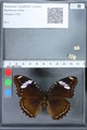 http://mczbase.mcz.harvard.edu/specimen_images/ent-lepidoptera/images/2010_02_26/IMG_033470.JPG