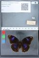 http://mczbase.mcz.harvard.edu/specimen_images/ent-lepidoptera/images/2010_02_26/IMG_033471.JPG