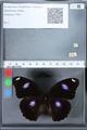 http://mczbase.mcz.harvard.edu/specimen_images/ent-lepidoptera/images/2010_02_26/IMG_033472.JPG