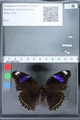 http://mczbase.mcz.harvard.edu/specimen_images/ent-lepidoptera/images/2010_03_01/IMG_033717.JPG
