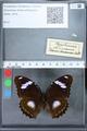 http://mczbase.mcz.harvard.edu/specimen_images/ent-lepidoptera/images/2010_03_01/IMG_033719.JPG