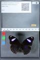 http://mczbase.mcz.harvard.edu/specimen_images/ent-lepidoptera/images/2010_03_01/IMG_033720.JPG