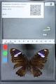 http://mczbase.mcz.harvard.edu/specimen_images/ent-lepidoptera/images/2010_03_01/IMG_033722.JPG