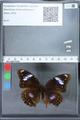http://mczbase.mcz.harvard.edu/specimen_images/ent-lepidoptera/images/2010_03_01/IMG_033723.JPG
