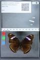 http://mczbase.mcz.harvard.edu/specimen_images/ent-lepidoptera/images/2010_03_01/IMG_033724.JPG