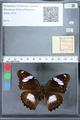 http://mczbase.mcz.harvard.edu/specimen_images/ent-lepidoptera/images/2010_03_01/IMG_033726.JPG