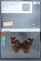 http://mczbase.mcz.harvard.edu/specimen_images/ent-lepidoptera/images/2010_03_01/IMG_033728.JPG