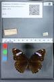 http://mczbase.mcz.harvard.edu/specimen_images/ent-lepidoptera/images/2010_03_01/IMG_033729.JPG