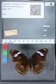 http://mczbase.mcz.harvard.edu/specimen_images/ent-lepidoptera/images/2010_03_01/IMG_033730.JPG