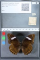 http://mczbase.mcz.harvard.edu/specimen_images/ent-lepidoptera/images/2010_03_01/IMG_033732.JPG