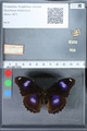 http://mczbase.mcz.harvard.edu/specimen_images/ent-lepidoptera/images/2010_03_01/IMG_033733.JPG