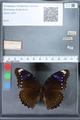 http://mczbase.mcz.harvard.edu/specimen_images/ent-lepidoptera/images/2010_03_01/IMG_033736.JPG