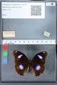http://mczbase.mcz.harvard.edu/specimen_images/ent-lepidoptera/images/2010_03_01/IMG_033739.JPG