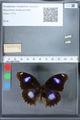 http://mczbase.mcz.harvard.edu/specimen_images/ent-lepidoptera/images/2010_03_01/IMG_033741.JPG