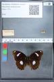 http://mczbase.mcz.harvard.edu/specimen_images/ent-lepidoptera/images/2010_03_01/IMG_033744.JPG