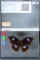 http://mczbase.mcz.harvard.edu/specimen_images/ent-lepidoptera/images/2010_03_01/IMG_033745.JPG