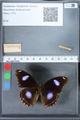 http://mczbase.mcz.harvard.edu/specimen_images/ent-lepidoptera/images/2010_03_01/IMG_033746.JPG