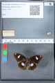 http://mczbase.mcz.harvard.edu/specimen_images/ent-lepidoptera/images/2010_03_01/IMG_033747.JPG
