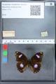 http://mczbase.mcz.harvard.edu/specimen_images/ent-lepidoptera/images/2010_03_01/IMG_033748.JPG