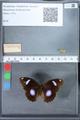 http://mczbase.mcz.harvard.edu/specimen_images/ent-lepidoptera/images/2010_03_01/IMG_033749.JPG