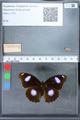http://mczbase.mcz.harvard.edu/specimen_images/ent-lepidoptera/images/2010_03_01/IMG_033750.JPG