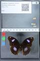 http://mczbase.mcz.harvard.edu/specimen_images/ent-lepidoptera/images/2010_03_01/IMG_033752.JPG