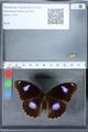 http://mczbase.mcz.harvard.edu/specimen_images/ent-lepidoptera/images/2010_03_01/IMG_033753.JPG