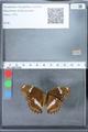 http://mczbase.mcz.harvard.edu/specimen_images/ent-lepidoptera/images/2010_03_01/IMG_033756.JPG