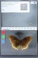 http://mczbase.mcz.harvard.edu/specimen_images/ent-lepidoptera/images/2010_03_01/IMG_033762.JPG