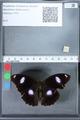 http://mczbase.mcz.harvard.edu/specimen_images/ent-lepidoptera/images/2010_03_01/IMG_033774.JPG
