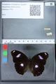 http://mczbase.mcz.harvard.edu/specimen_images/ent-lepidoptera/images/2010_03_01/IMG_033775.JPG