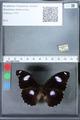 http://mczbase.mcz.harvard.edu/specimen_images/ent-lepidoptera/images/2010_03_01/IMG_033778.JPG