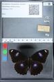 http://mczbase.mcz.harvard.edu/specimen_images/ent-lepidoptera/images/2010_03_01/IMG_033779.JPG