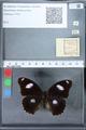 http://mczbase.mcz.harvard.edu/specimen_images/ent-lepidoptera/images/2010_03_01/IMG_033780.JPG