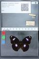 http://mczbase.mcz.harvard.edu/specimen_images/ent-lepidoptera/images/2010_03_01/IMG_033782.JPG