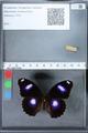 http://mczbase.mcz.harvard.edu/specimen_images/ent-lepidoptera/images/2010_03_01/IMG_033784.JPG