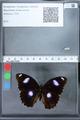http://mczbase.mcz.harvard.edu/specimen_images/ent-lepidoptera/images/2010_03_01/IMG_033785.JPG